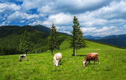 Cows graze on the mountain meadows of the Carpathians. Cows graze on the lush green field, high in the mountains. Beautiful blue sky with clouds and highlight Royalty Free Stock Photo