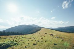 A cows graze on the mountains Royalty Free Stock Photo