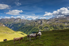 Cows graze in the mountains. Royalty Free Stock Photo