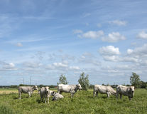Cows graze in nature area leersumse veld in the netherlands near Royalty Free Stock Photos
