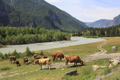 Cows graze near a river in Altai mountains Stock Photos