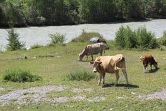 Cows graze near a river in Altai mountains Stock Image