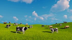 Cows graze on the open green meadows stock video