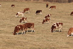 Cows graze in the autumn Royalty Free Stock Photos