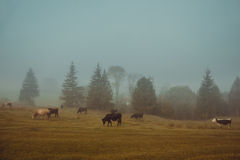 Cows graze in a pasture in the early misty morning. Stock Images