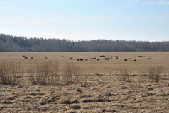 Cows graze on pasture with grassy grass, early spring, Royalty Free Stock Images