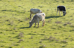 Cows graze on pasture on nature Stock Image