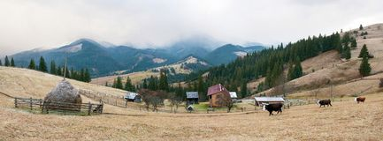 Cows graze on a pasture, powdered with snow against the backdrop of the mountains. Panorama of a mountain village with cows that graze on the farm in autumn Royalty Free Stock Photos