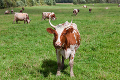 Cows graze in the pasture Royalty Free Stock Photography