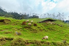 Grazing among wax palms. Cows graze peacefully in the Cocora Valley near Salento, Colombia royalty free stock photos