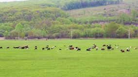 Cows graze and rest on a spring or summer meadow with fresh, bright green grass stock footage