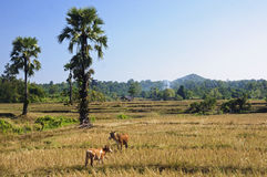 Cows graze in the rice fields Stock Photo