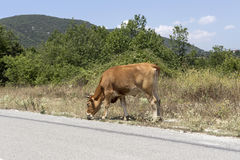 Cows graze on the road. Cows graze at a mountain road on a sunny day Stock Image
