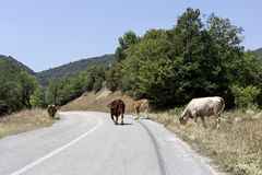 Cows graze on the road. Cows graze at a mountain road on a sunny day Stock Photos