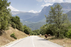 Cows graze on the road. Cows graze at a mountain road on a sunny day Stock Photo