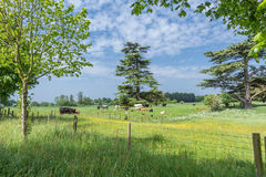 Cows graze in the scenic English countryside Royalty Free Stock Photography