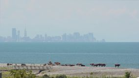 Cows graze on the shore against the background of the sea and the city with skyscrapers. Day, sunny, haze. Batumi, Georgia.  stock footage