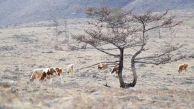 Cows graze among the stones of the mountains in the background stock footage