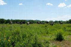 Cows graze in the summer day Royalty Free Stock Photography