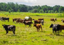 Cows graze in summer on a field in the village stock photo