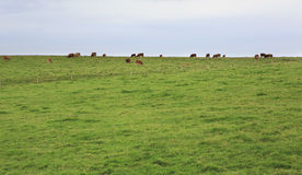 Cows graze on top of cliffs Moher. Royalty Free Stock Images