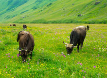 Cows graze in the valley river Enguri in Svaneti Royalty Free Stock Photos