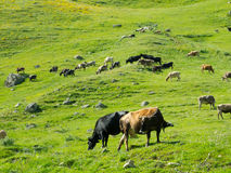 Cows graze in the valley river Enguri in Svaneti Royalty Free Stock Image