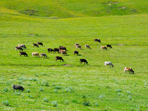 Cows graze in the valley river Enguri in Svaneti Stock Photography