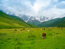 Cows graze in the valley river Enguri in Svaneti Stock Images
