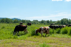 Cows graze on the wild meadow Stock Image
