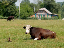 Cows are grazed on a meadow Stock Photos