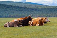 Cows on island Olkhon Royalty Free Stock Photography