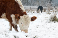 Cows grazing. In a wintry field (part of a series featuring cows or horses in snow Royalty Free Stock Images