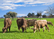 Cows grazing.  Stock Photo