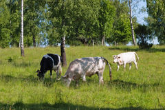 Cows grazing Royalty Free Stock Photography