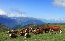 Cows grazing. At high altitude in The Alps with Mont Blanc massif in the distance Royalty Free Stock Images