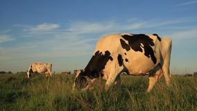 Cows grazing stock video footage
