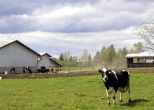 Cows Grazing 4. This cow paused in its grazing to look up at me as I took this picture. The rest of the herd lounge in the background by a farm building Royalty Free Stock Photography