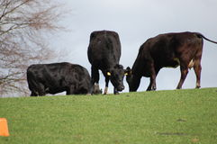 Cows Grazing. Some cows grazing and enjoying the early summer sun Royalty Free Stock Photo