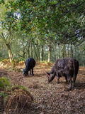 Cows Grazing for Acorns Royalty Free Stock Photography