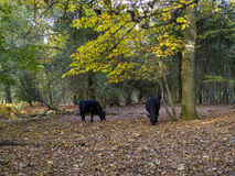 Cows Grazing for Acorns Royalty Free Stock Photo