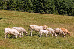 Cows grazing on Alpine meadows Stock Photo