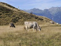 Cows grazing on an alpine pasture Royalty Free Stock Image