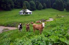 Cows. Grazing on alpine pasture, Romania Stock Photo
