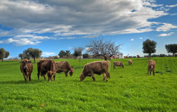 Cows grazing in apulian countryside. Royalty Free Stock Photos