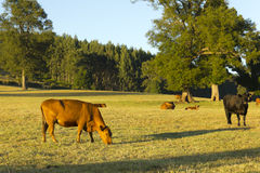 Cows grazing in a Araucania Chile Stock Images