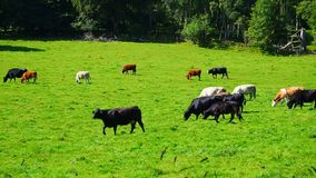 Cows grazing. August 2017: Cows graze in the sun for a wonderful summer day. August 2017 in Alford stock video footage