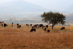 Cows grazing in autumn Stock Photography