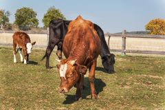 Cows on grazing. Autumn on the farm. Cattle breeding. Agricultural farm in the Czech Republic. Royalty Free Stock Photo