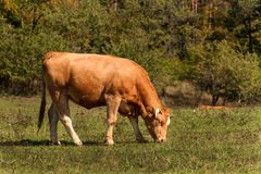 Cows on grazing. Autumn on the farm. Cattle breeding. Agricultural farm in the Czech Republic. Stock Photography